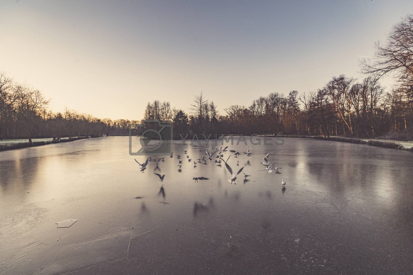 Gulls flying over a frozen lake in the winter in the early morning sunrise with ice on the water