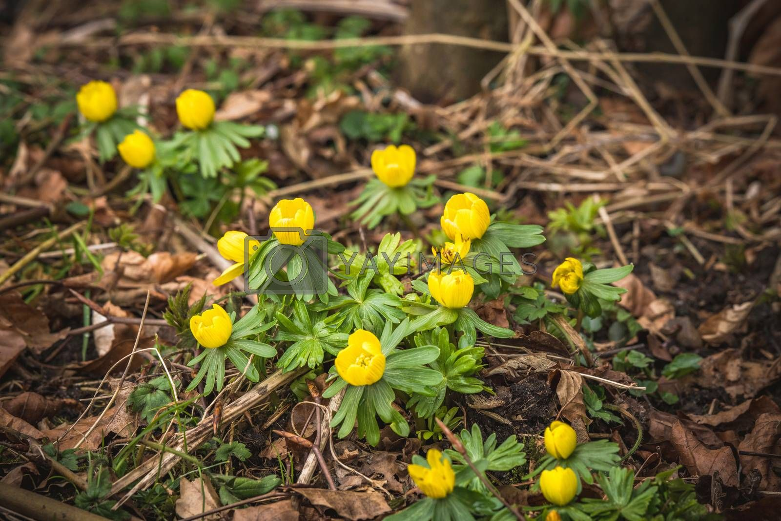 Eranthis flowers in yellow color blooming in a forest in the late winter