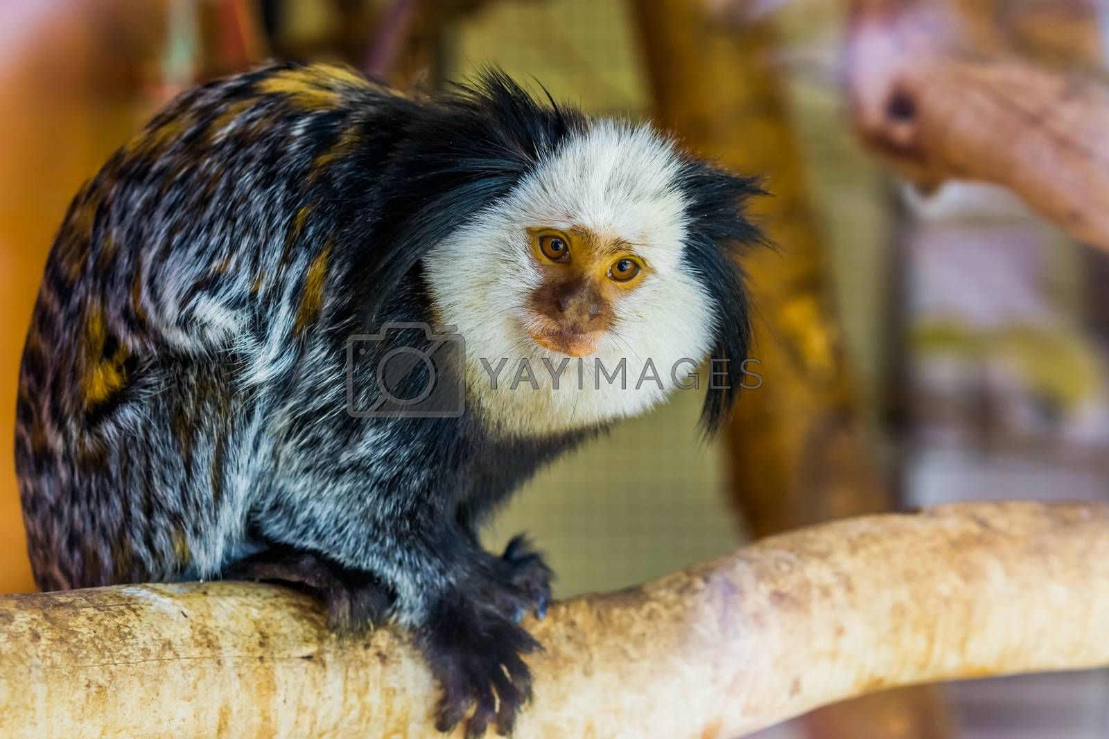 closeup of a white headed marmoset, a tropical monkey from brazil, popular exotic pets