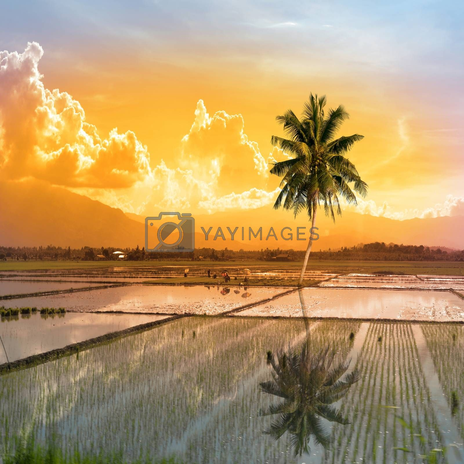 single palm tree in a paddy field on the Philippine island of mondoro