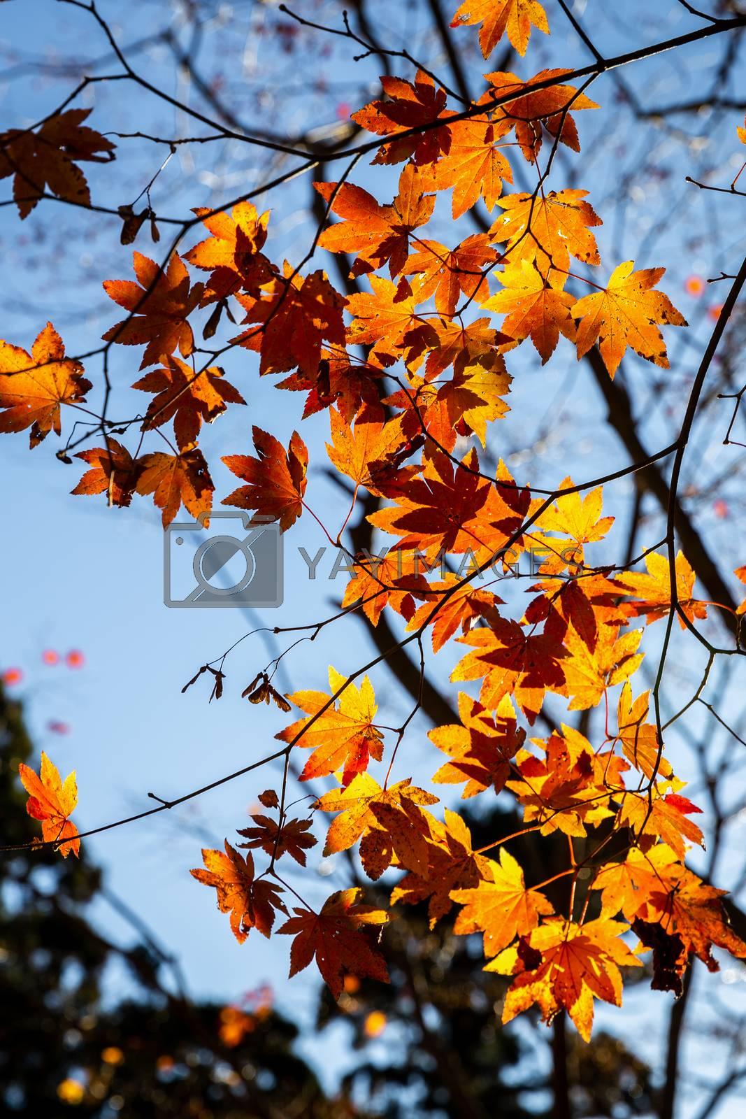Yellow maple leaves touching sunlight before sunset during autumn at Mount Koyasan, Wakayama, Kansai, Japan.