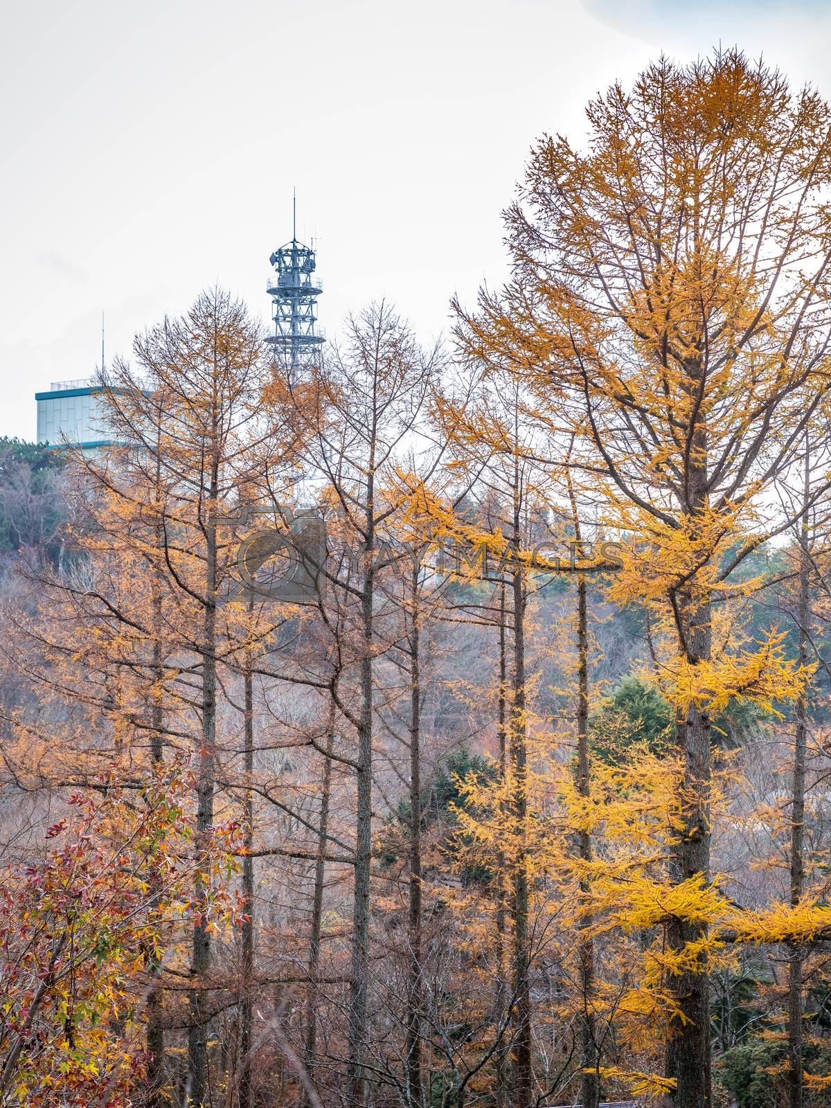 Pine trees changing color from green to orange during autumn inside Mount Rokko of Kobe, Hyogo, Kansai, Japan.