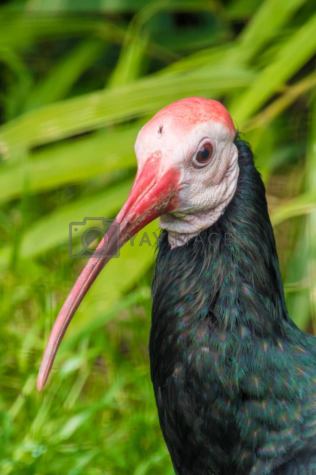 Exotic bird with long red beak and dark feathers