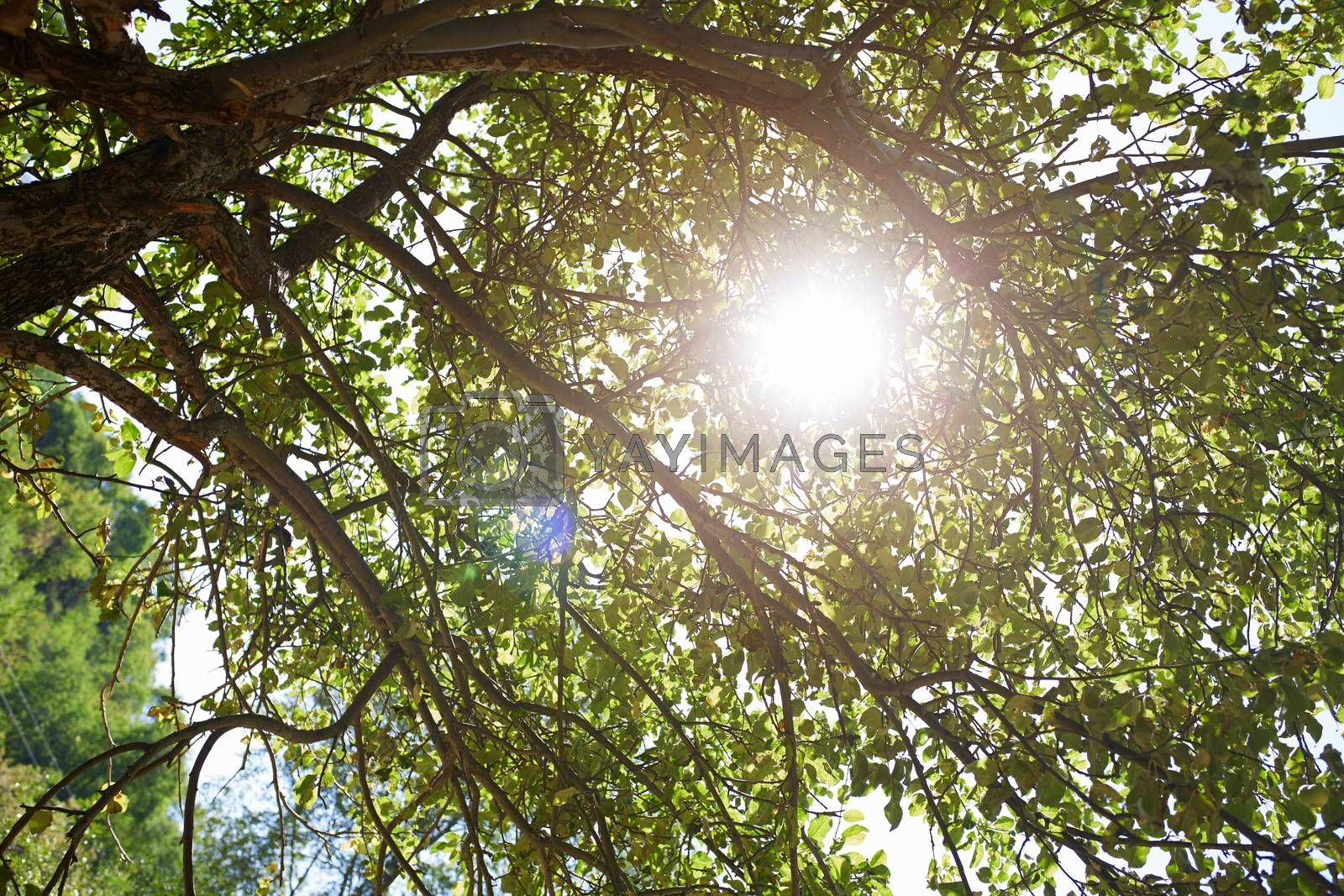 Low angle view at the apple tree with sun beam