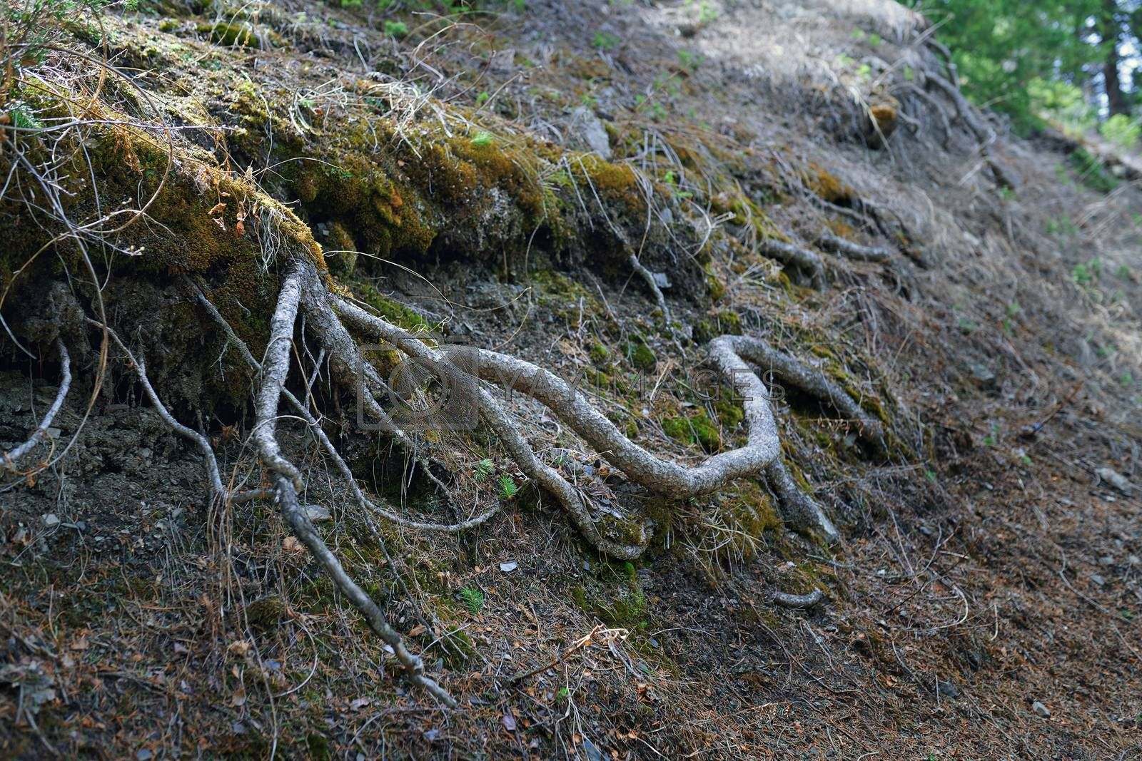 Roots of the old tree in deep forest