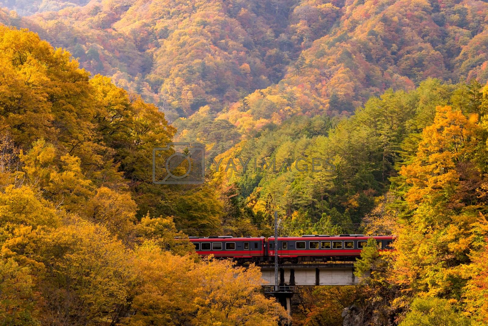 Autumn fall foliage with red train commuter in Fukushima Japan