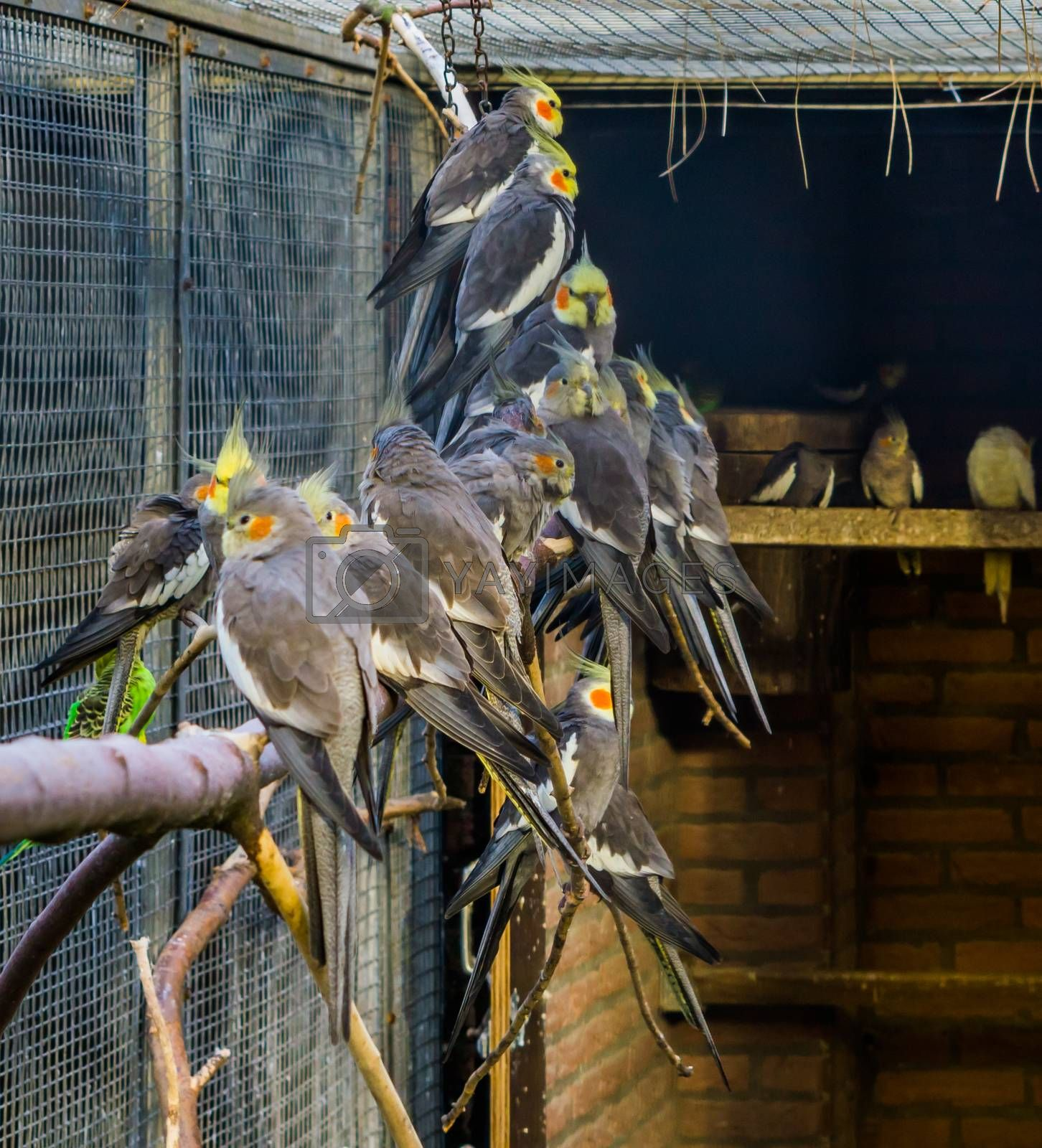 Aviculture, a aviary full of cockatiels, tropical crested birds from Australia, Popular pets
