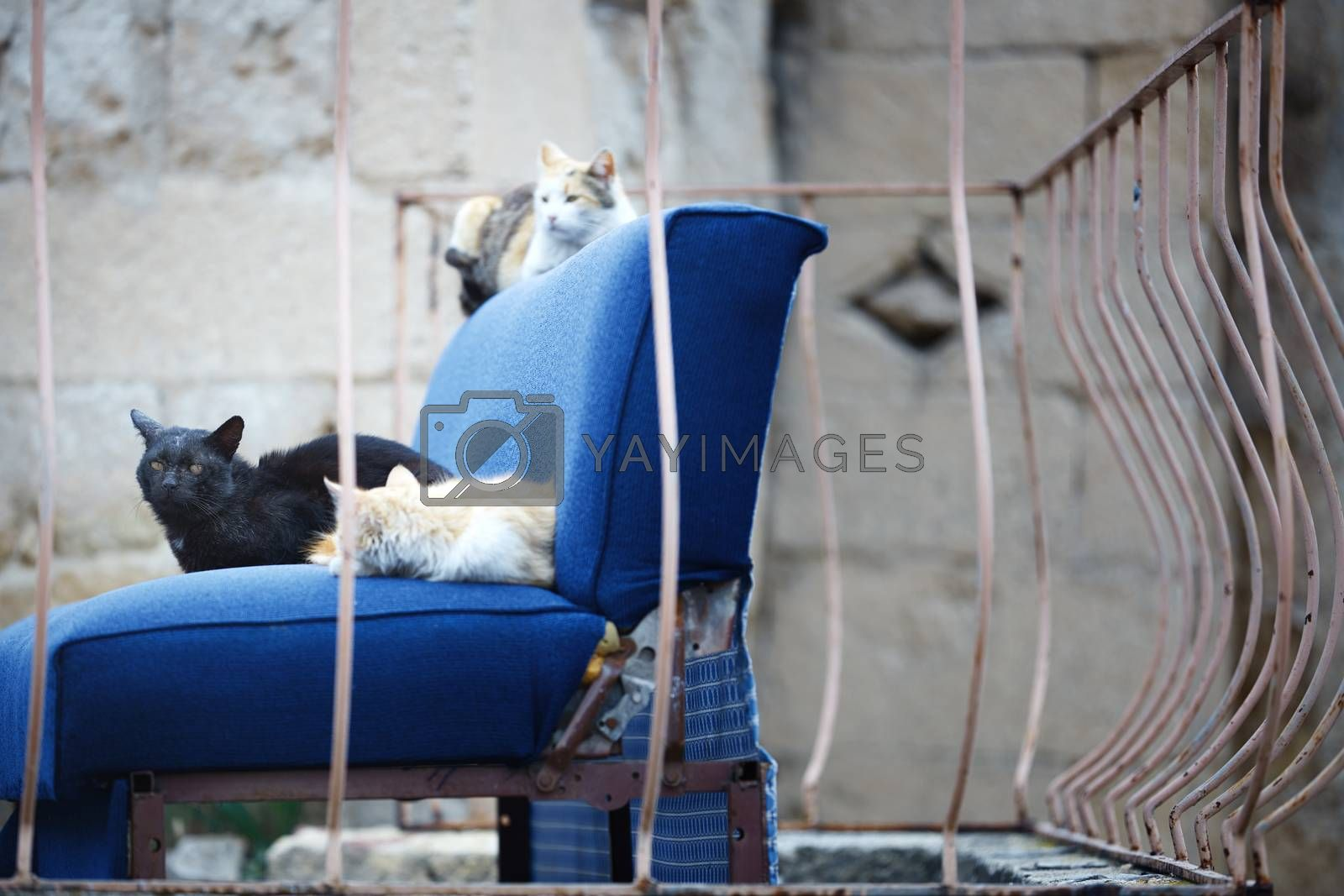 Three undomesticated cats on a blue abandoned arm-chair. Mexico