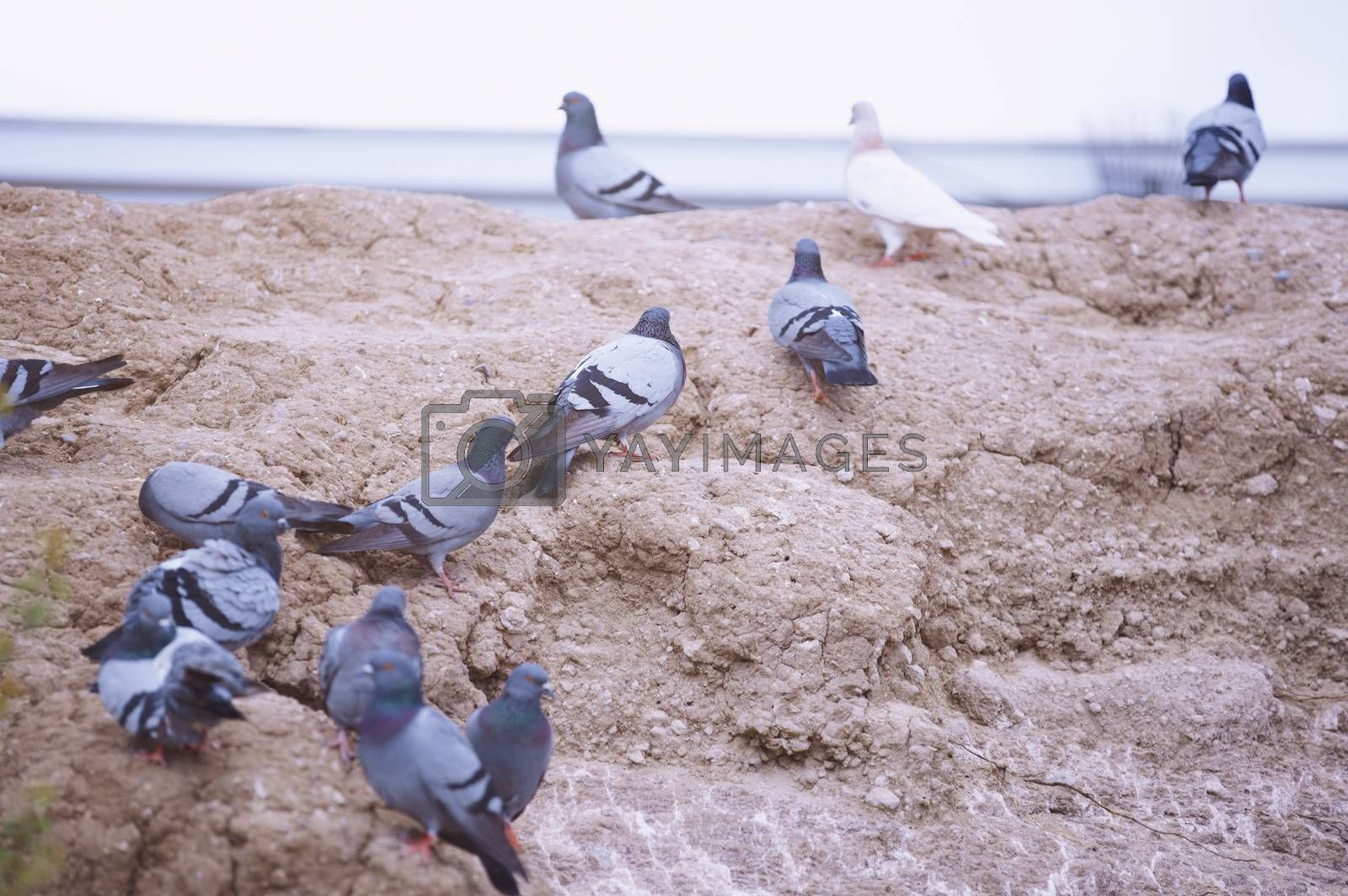 Flock of pigeons on the rock. Close-up horizontal view