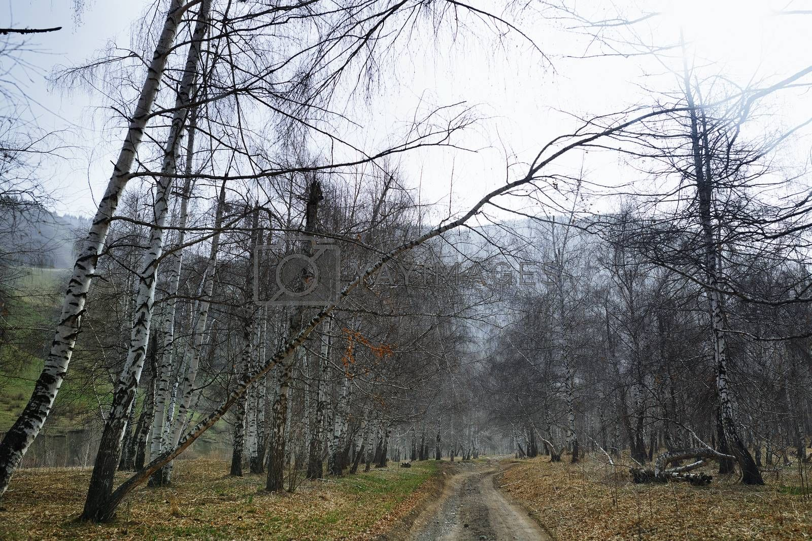 Country road in the birch forest