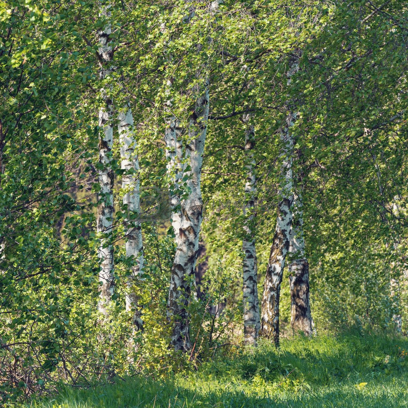 beautiful birch tree in spring countryside, rural landscape, tranquil scene in sunny day