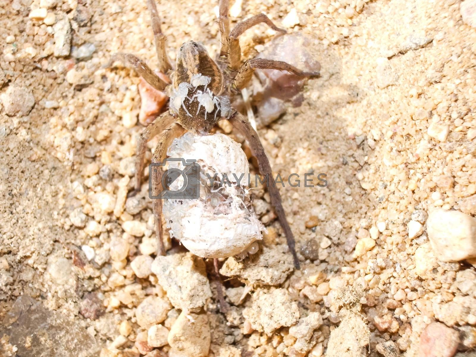 Female spider with a cocoon. Care of the offspring of spiders.