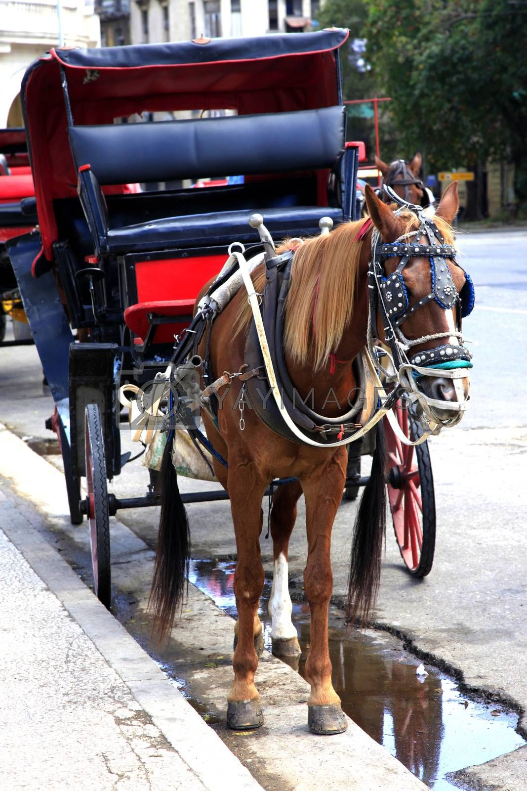 Royalty free image of Horse carriage in old Havana by friday