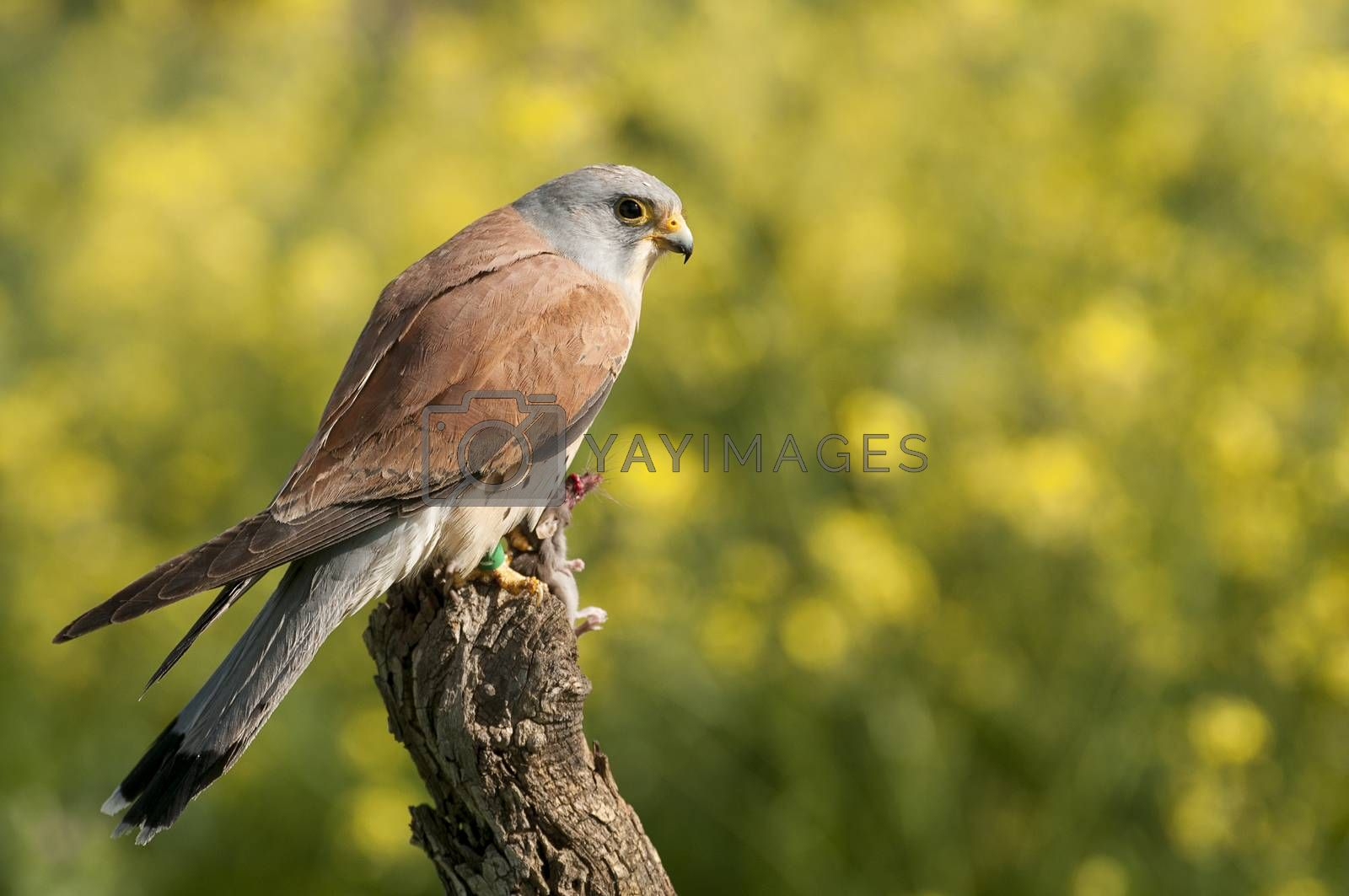 Lesser kestrel, male, eating a mouse, Falco naumann
