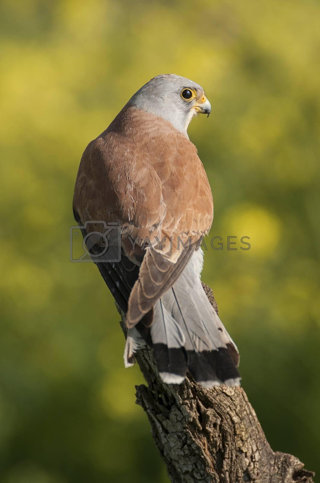 Lesser kestrel, male, Falco naumanni