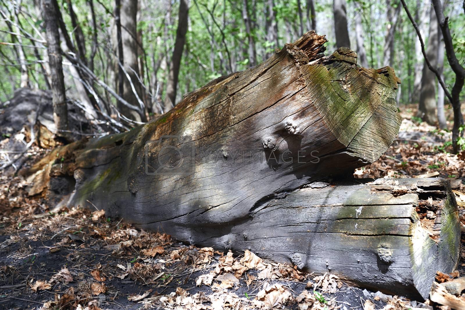 Dead fallen tree trunk in the forest by Novic