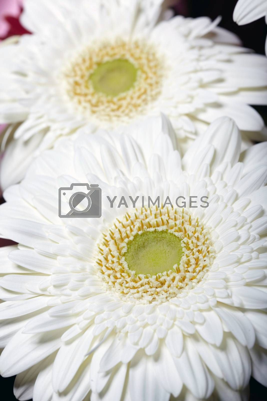Chrysanthemum by Novic