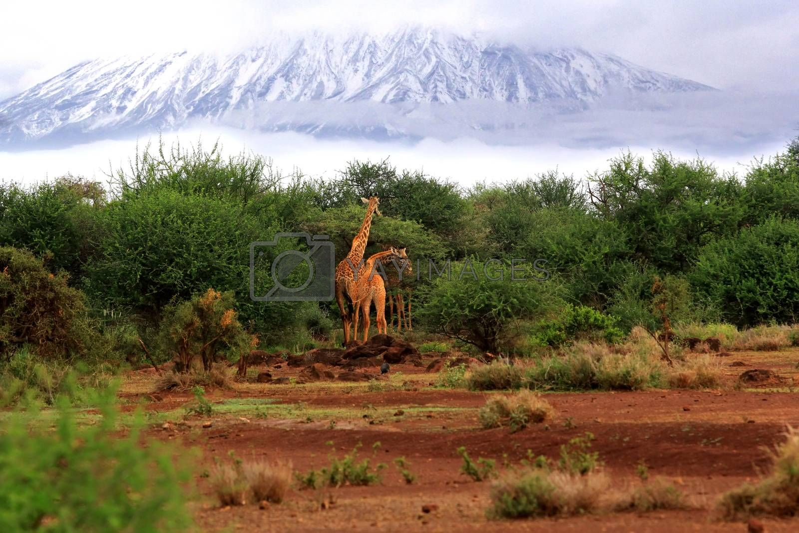 Royalty free image of Free Giraffes in Tsavo National Park by friday