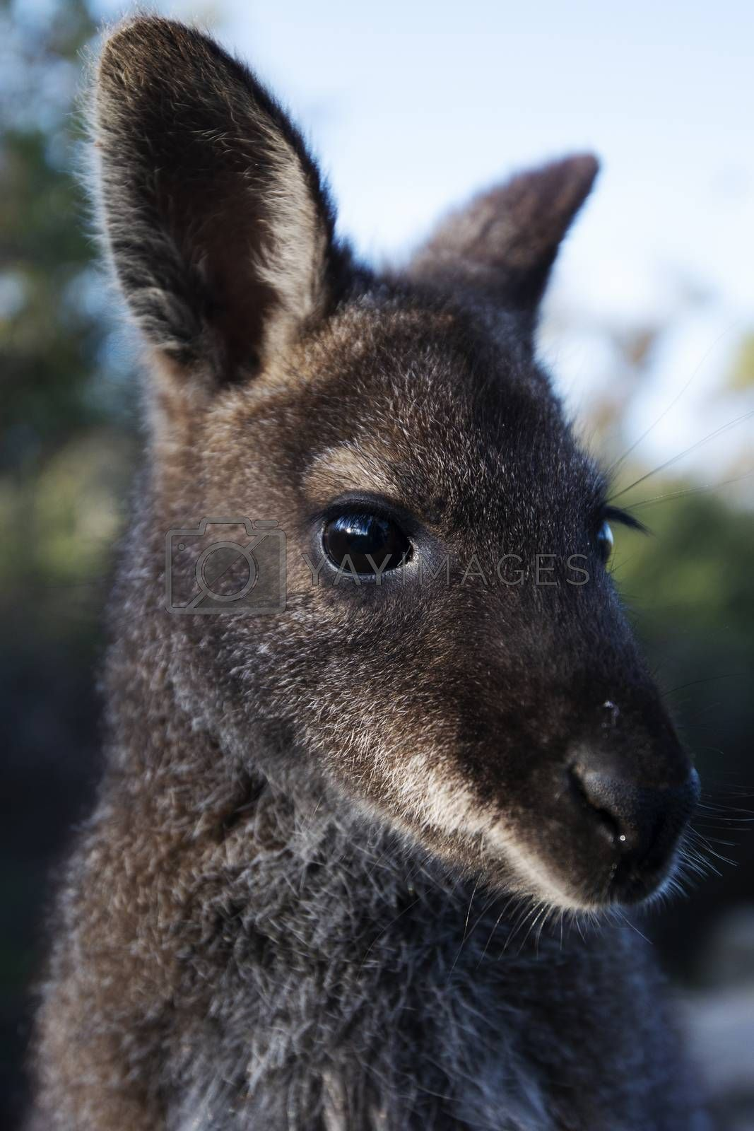 Closeup of an Australian bush wallaby outdoors during the day.