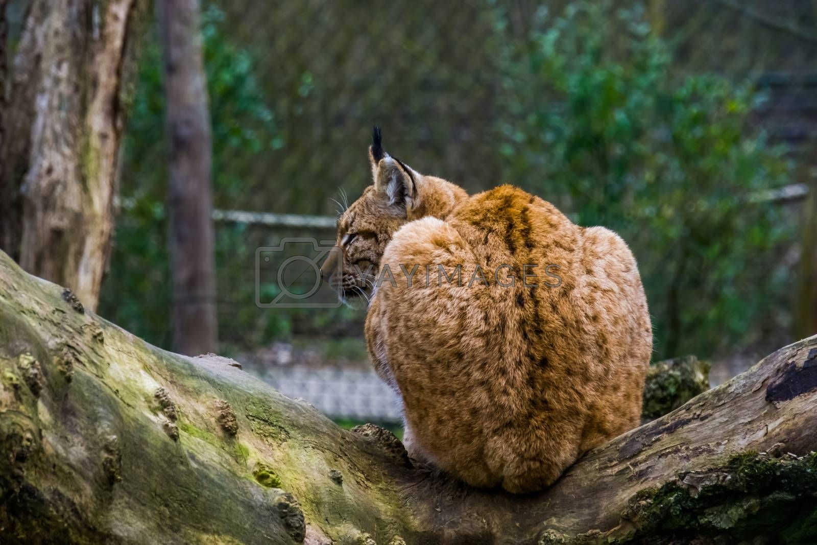 Eurasian lynx in closeup sitting on a tree branch, Wild cat from Eurasia