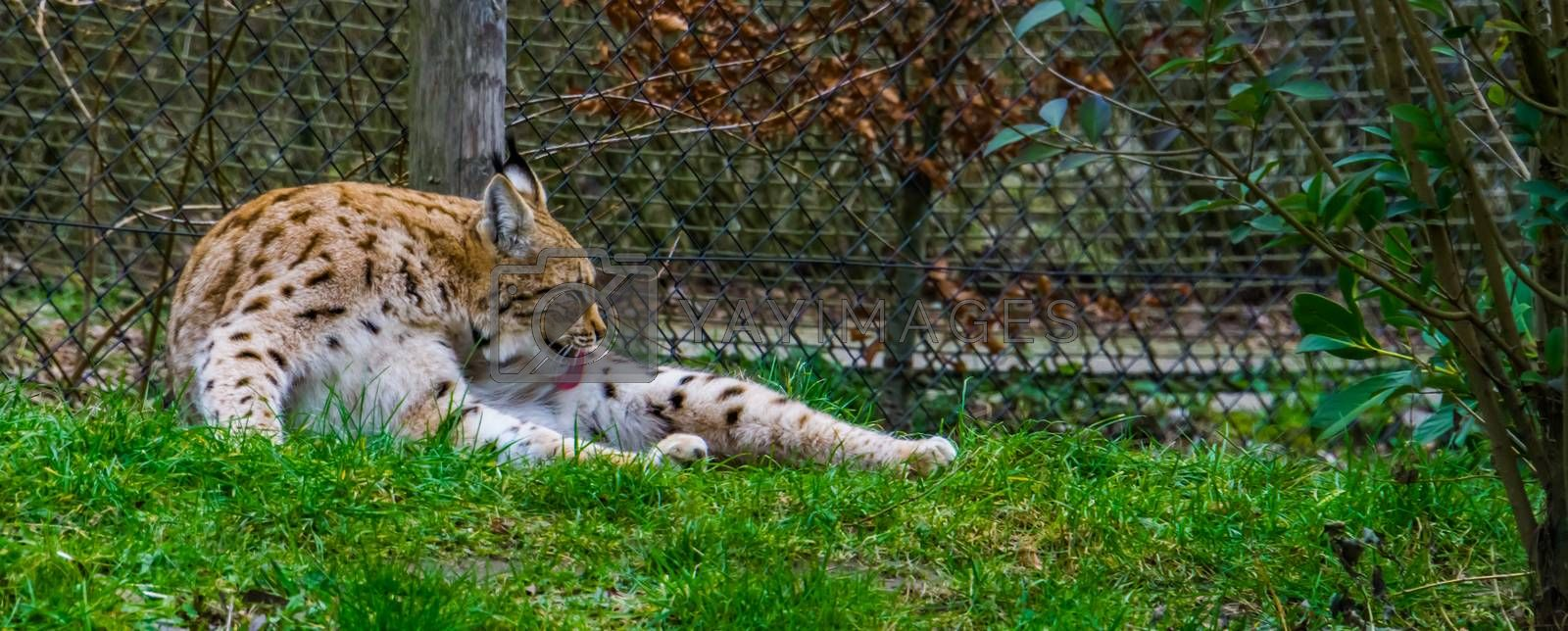 Eurasian lynx laying in the grass and cleaning its hair fur by licking