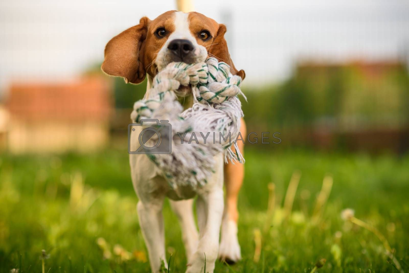 Beagle dog jumping and running with a toy outdoors towards the camera