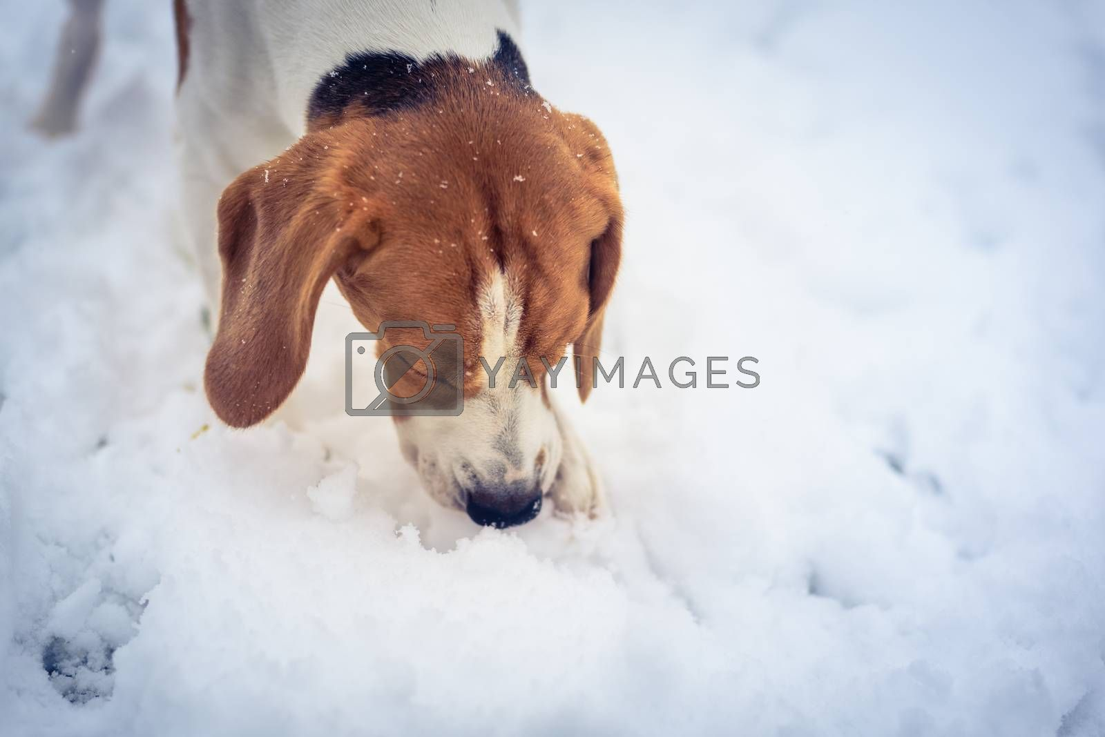 Beagle dog jumping and running with a toy outdoor snow winter towards the camera