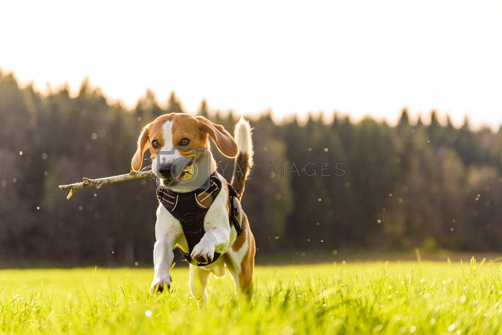 Beagle dog jumping and running with a wooden stick on a meadow towards the camera