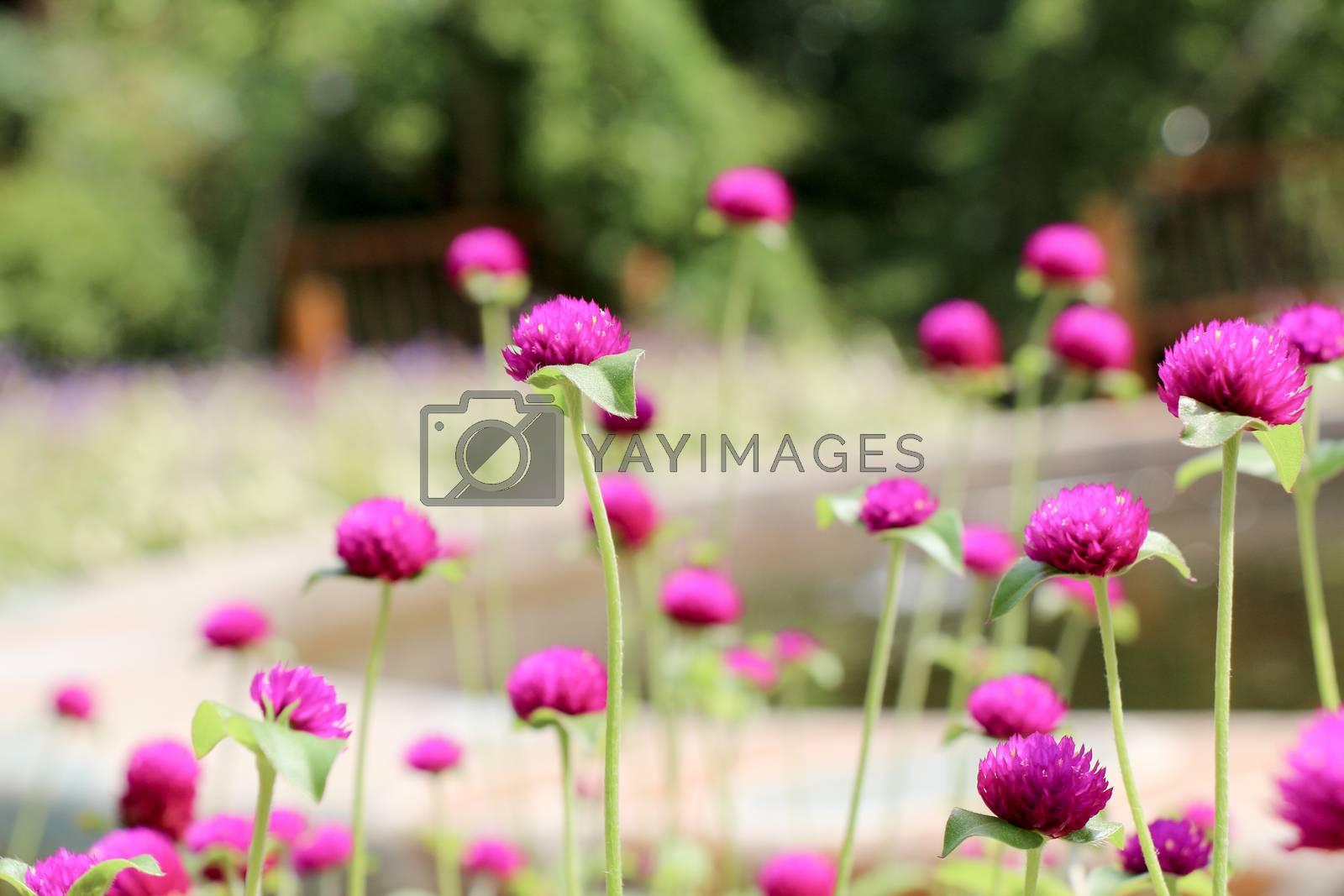 Beautifu lGlobe amaranths,  Amaranthaceae flowers in nature background