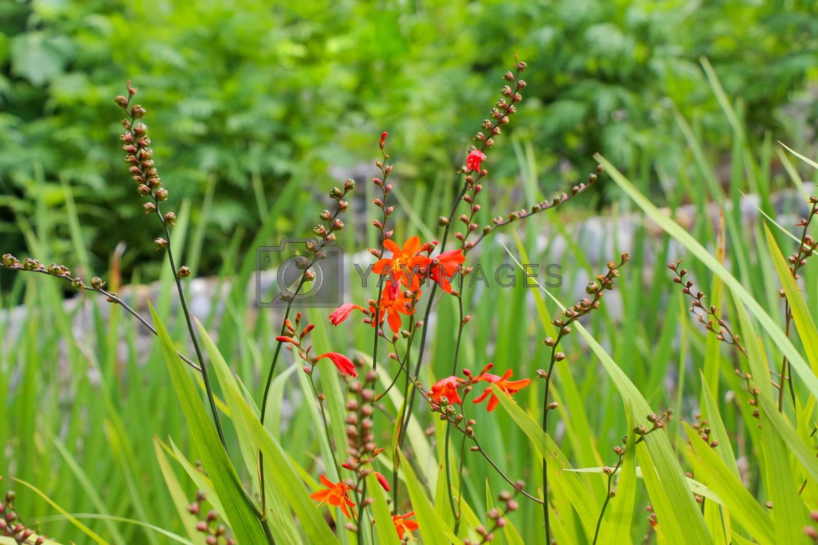 Beautiful Crocosmia flowers in nature by berkay