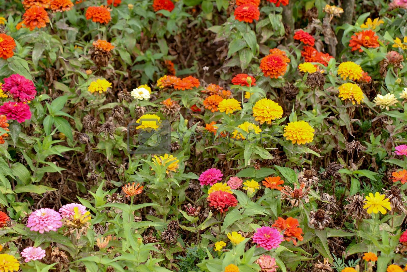 Beautiful Zinnia flowers in nature by berkay