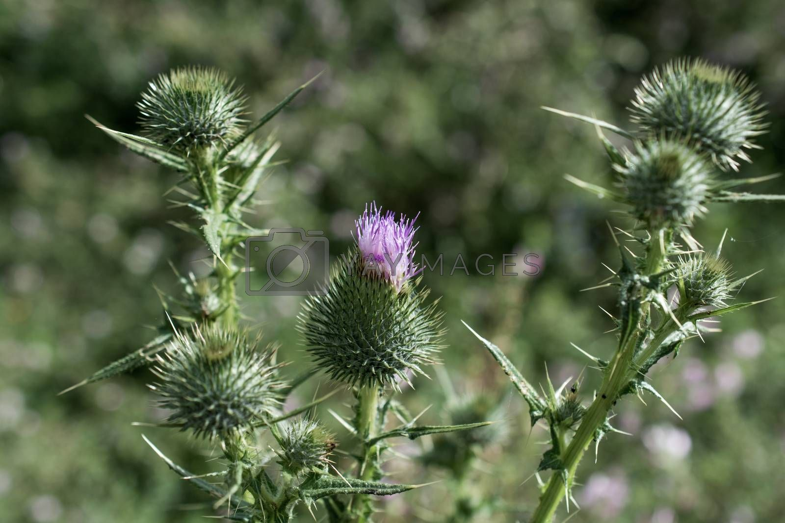 Beautiful Thistle flowers in nature by berkay