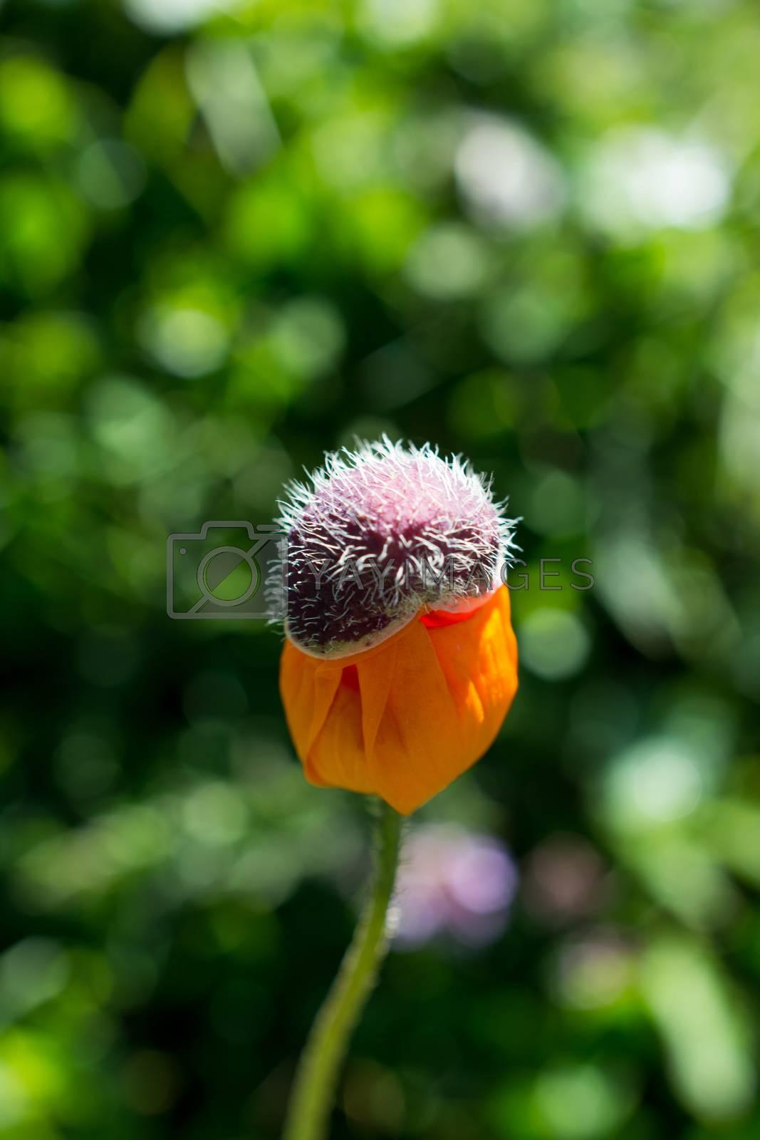 Beautiful Oriental poppy flowers in nature by berkay