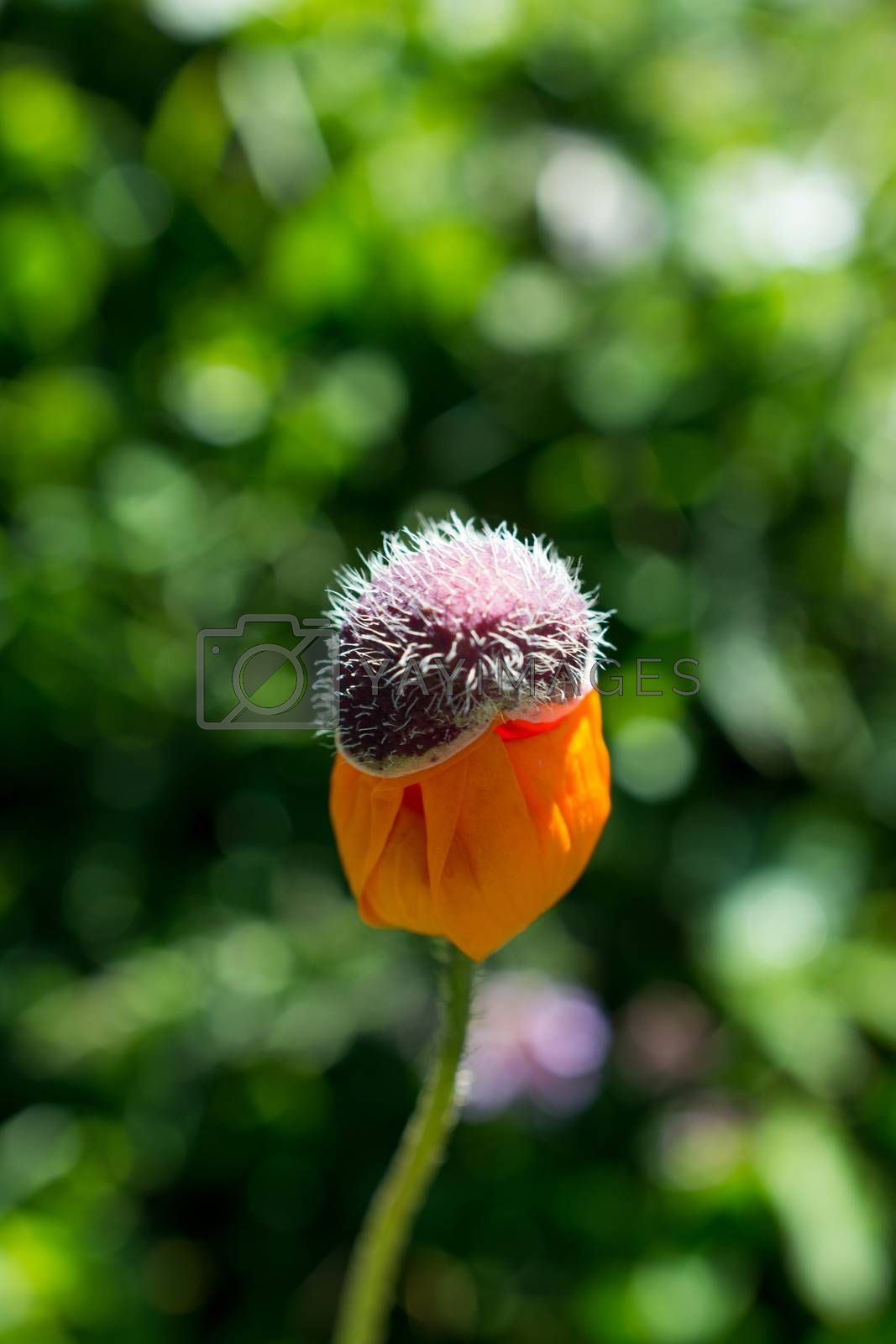 Beautiful Oriental poppy flowers in nature background