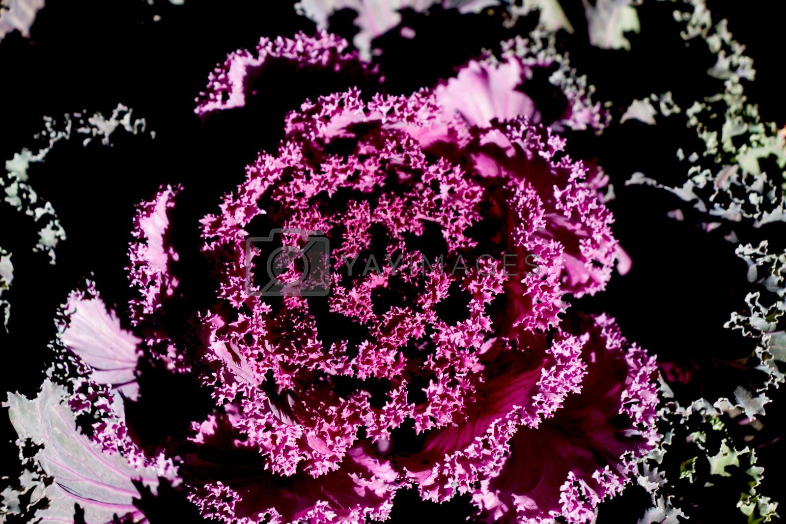 Beautiful Pink lettuce flower in view