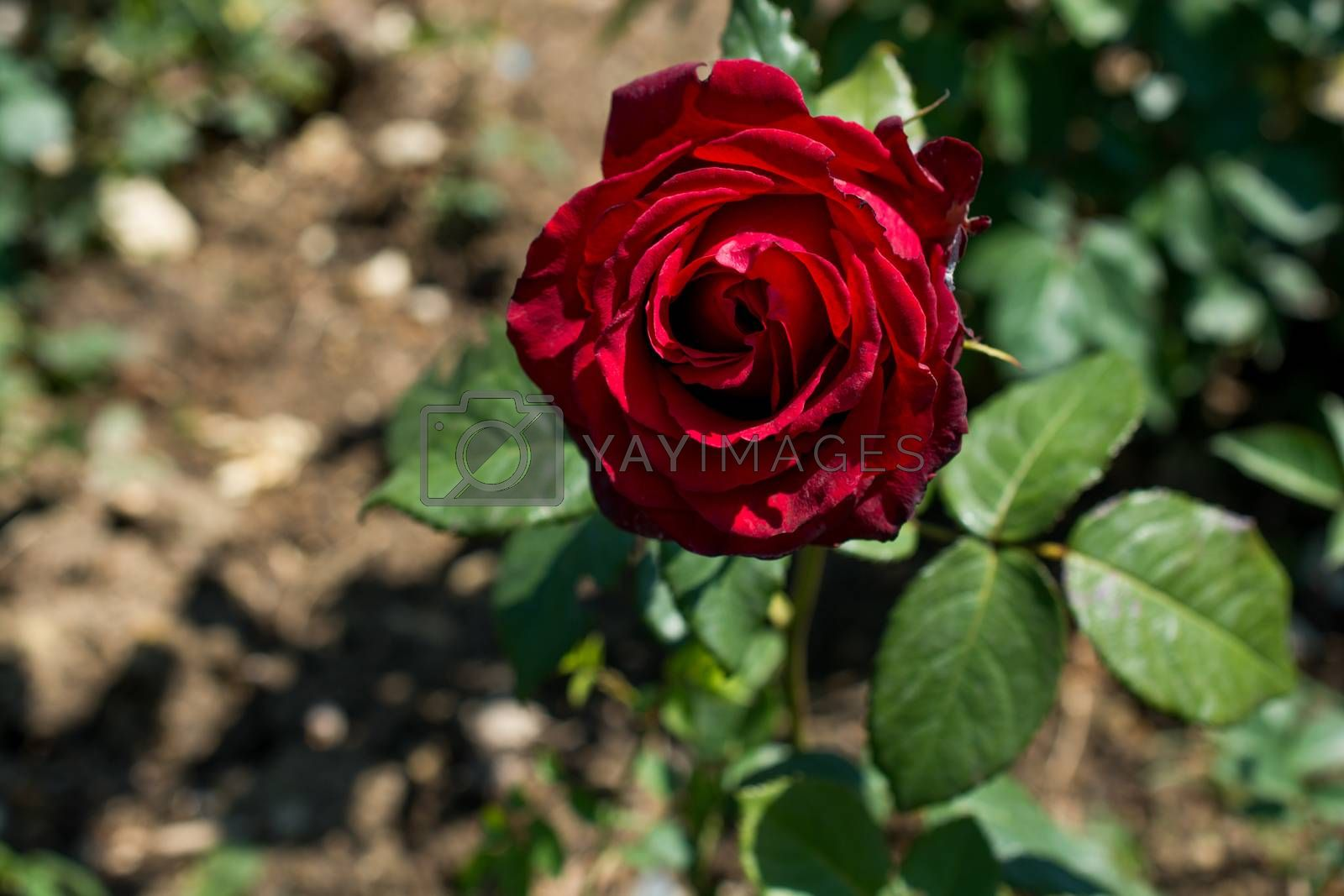 Beautiful rose in nature background