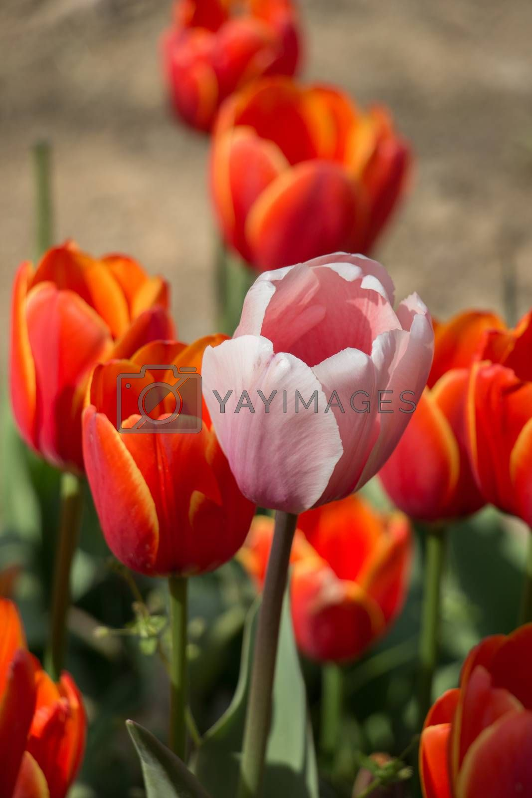 Tulips Blooming in Spring  by berkay