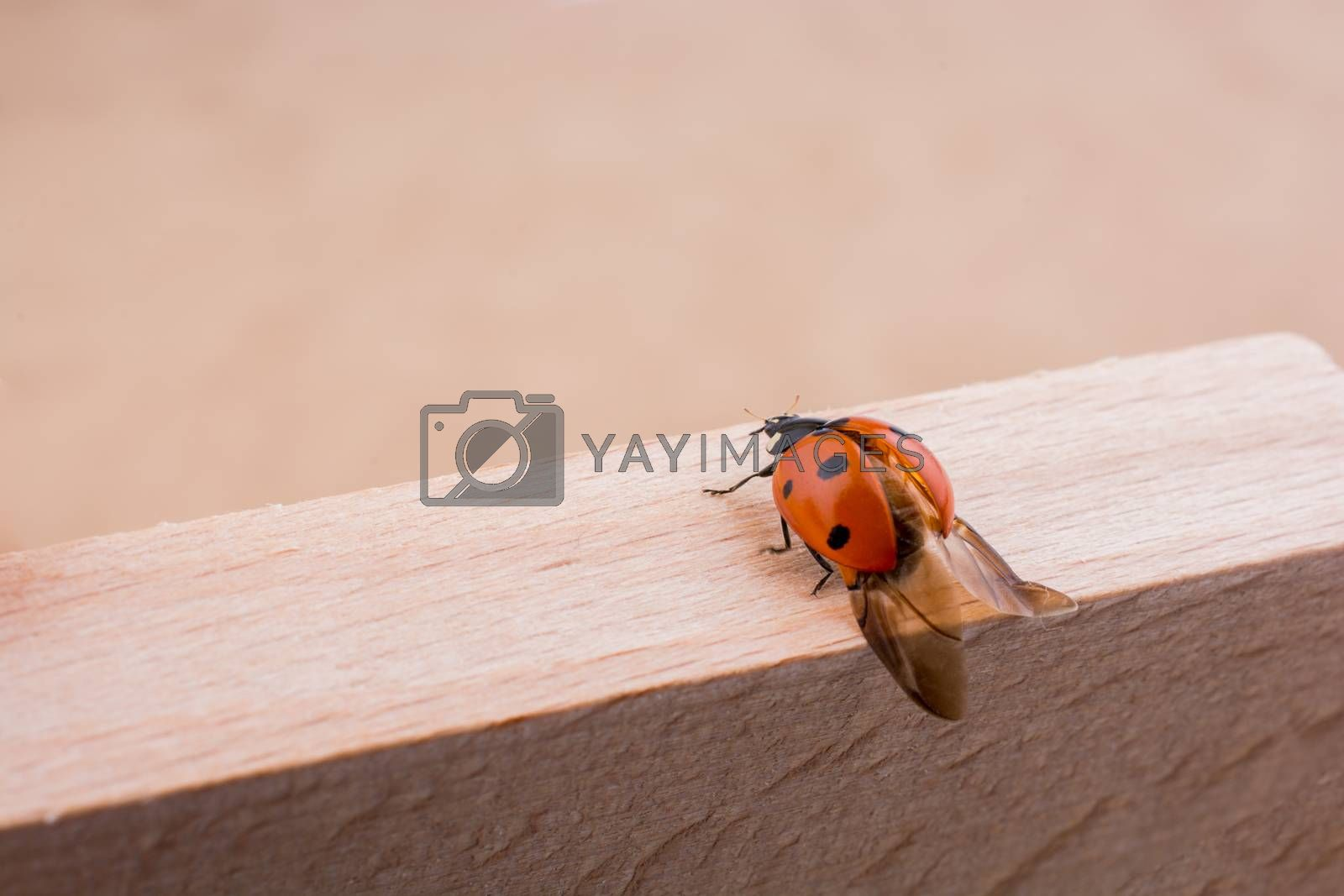 Beautiful photo of red ladybug walking on a piece of wood