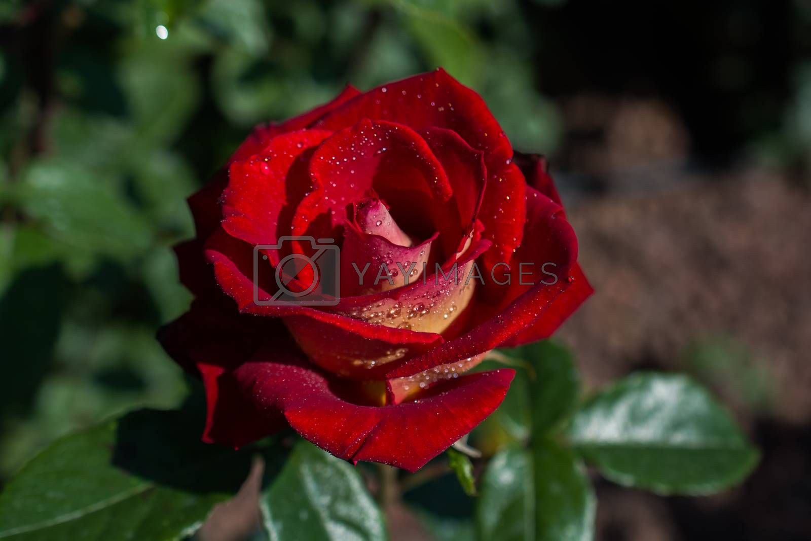 Beautiful fresh roses in close up view by berkay