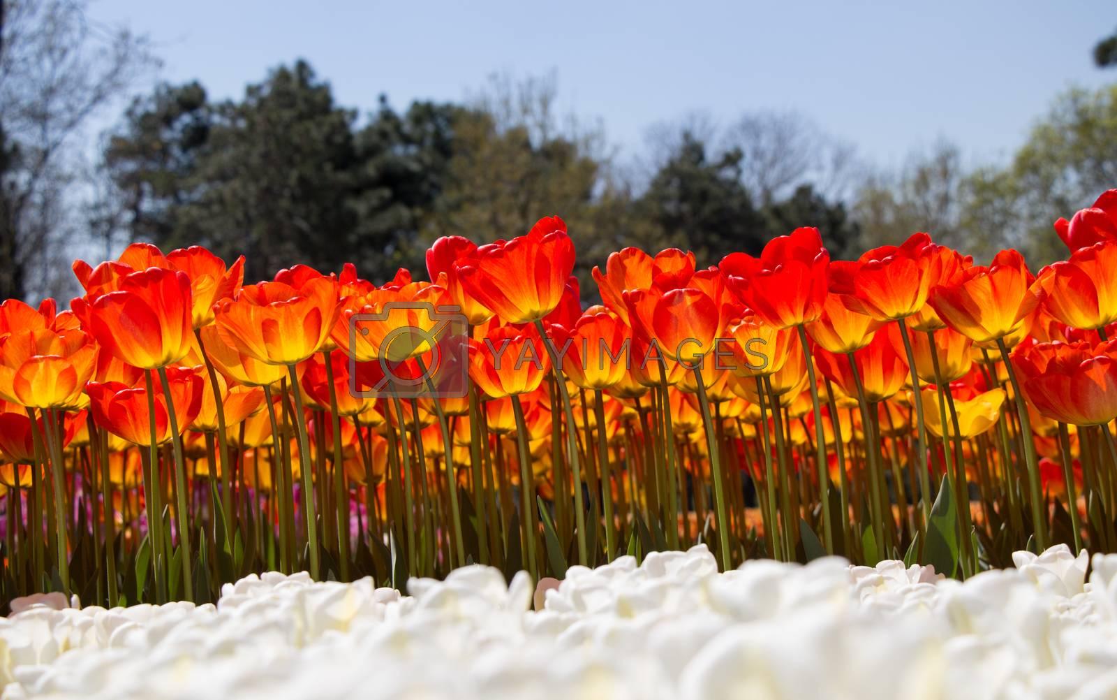 Tulips Blooming in Spring  by berkay