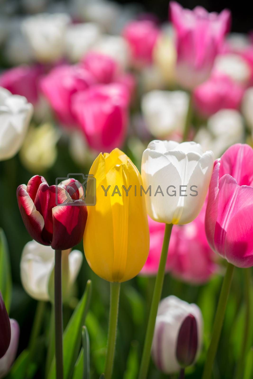 Pink color tulip flowers bloom  by berkay