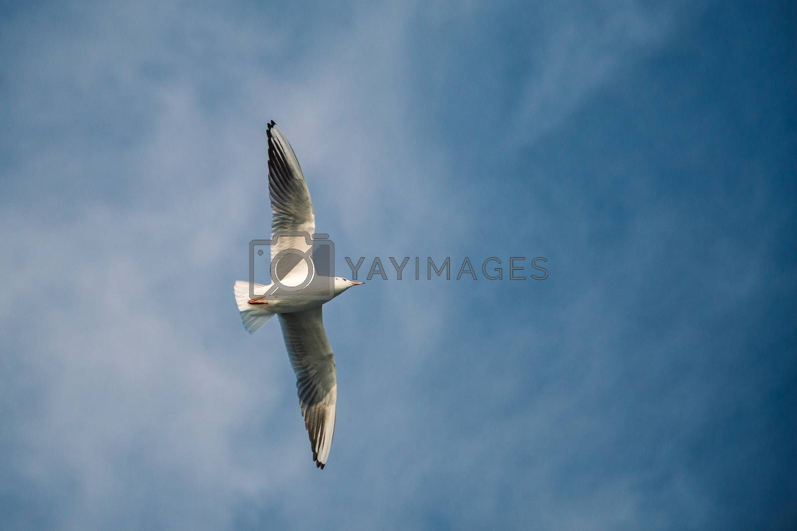 Seagull flying in blue  sky over the sea waters