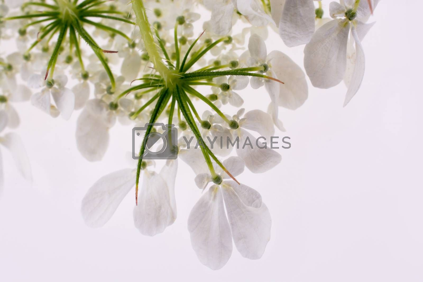 Hand holding a white flower on a white background