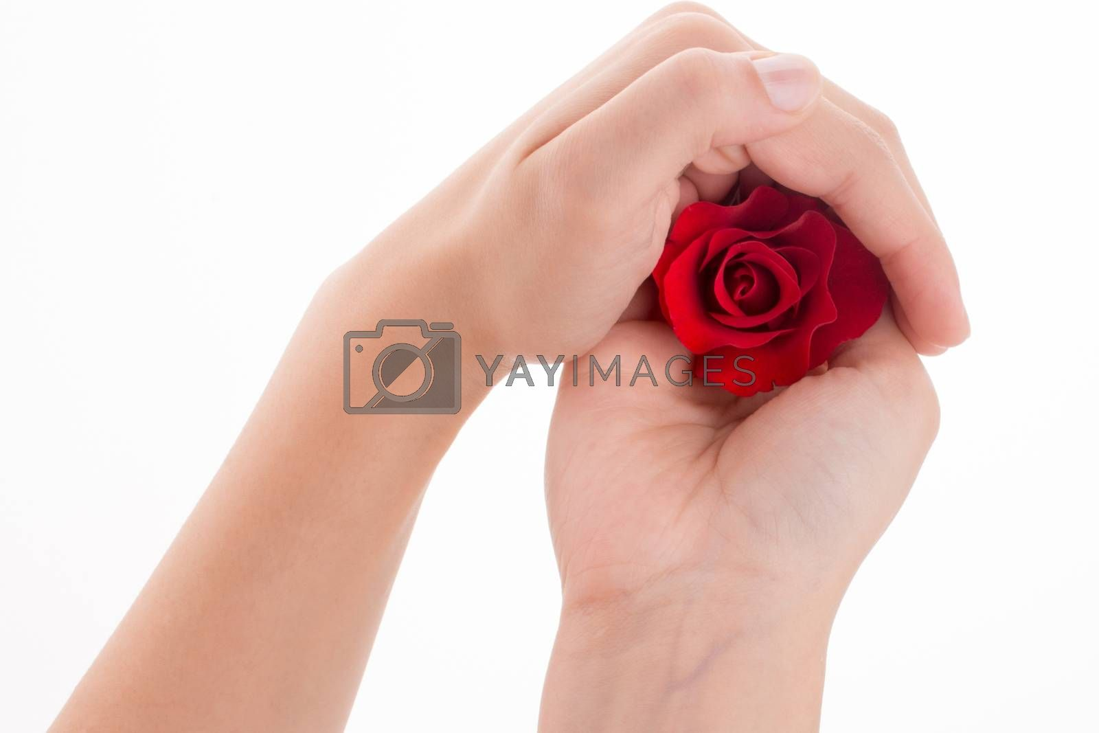 Hand holding a red rose on a white background