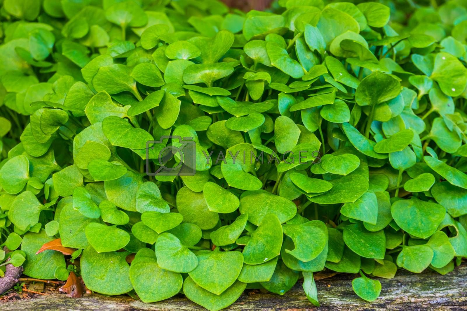 Winter purslane in macro closeup, organic cultivated garden plants, healthy green vegetables by charlotte Bleijenberg