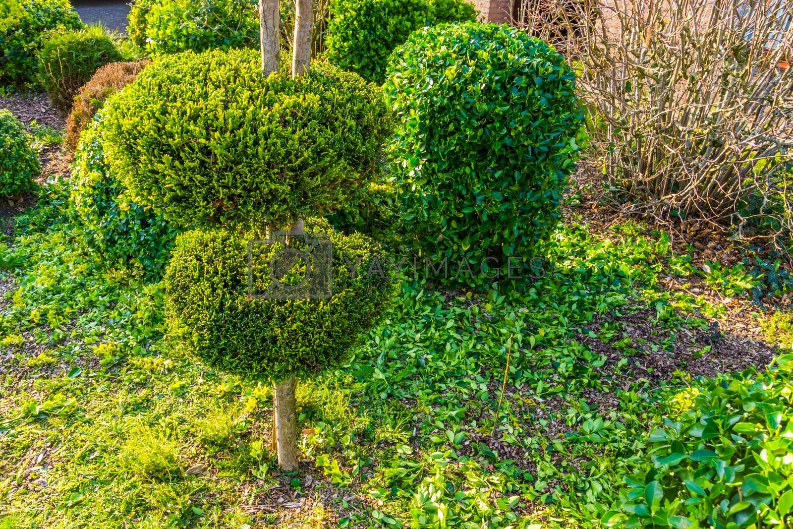 freshly pruned backyard, garden maintenance, conifer tree with decorative round shapes by charlotte Bleijenberg