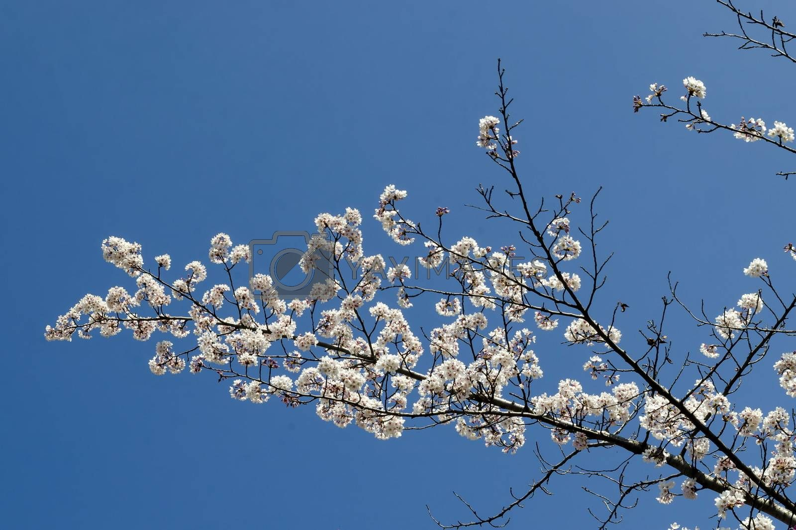 Blossoming japanese cherry branch, beautiful spring flowers for background by vili45