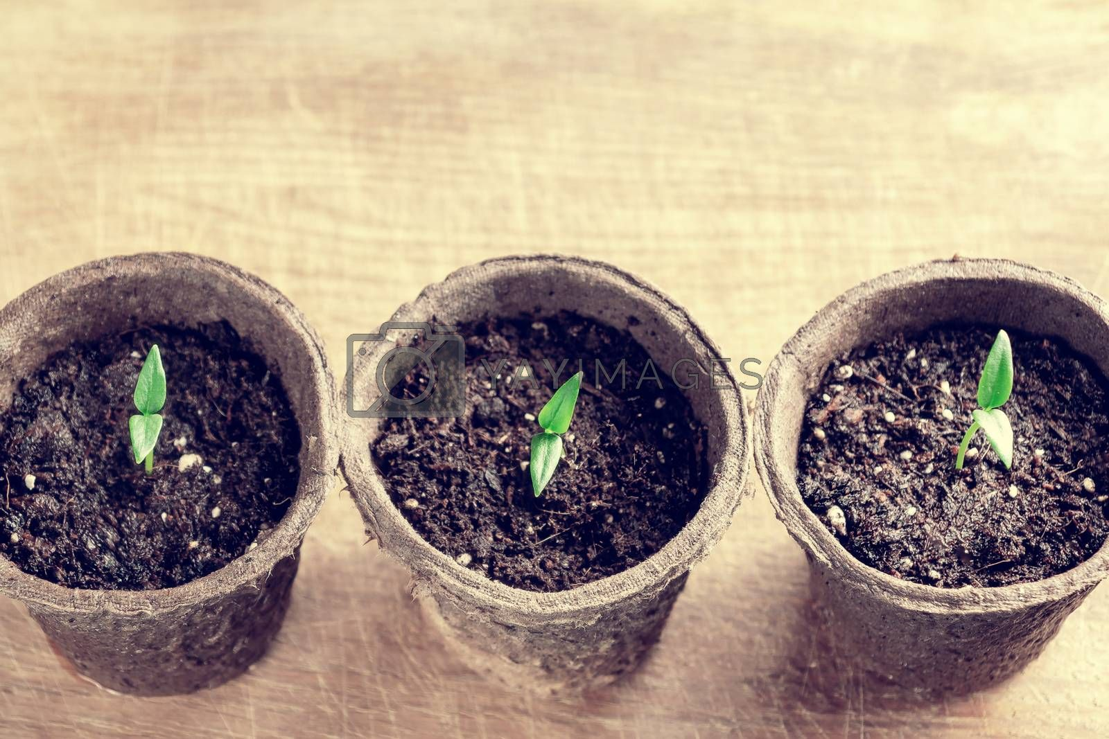 Small sprouts of pepper plant in a paper pots on a wooden board , top view by galsand