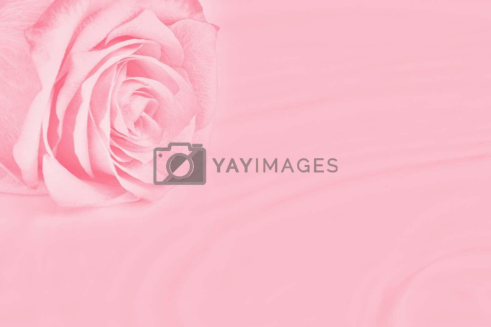 Rose lies on the surface of the water with easy ripples by galsand