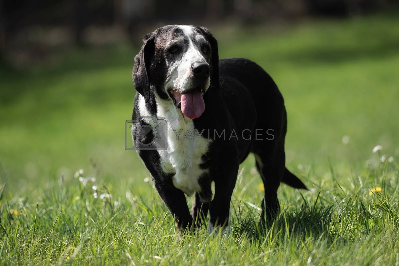A black and white basset dog outside by Sandra Fotodesign
